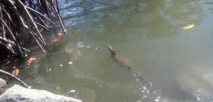 Liberación de cocodrilo (Crocodylus Acutus).